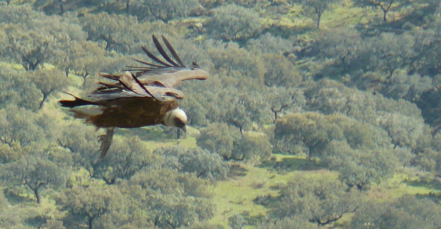 Gier in vlucht nabij Salto del Gitano
